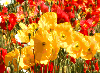 NfsPoppyField. Desktop Screensavers Flowers Screensavers Free Screensavers.